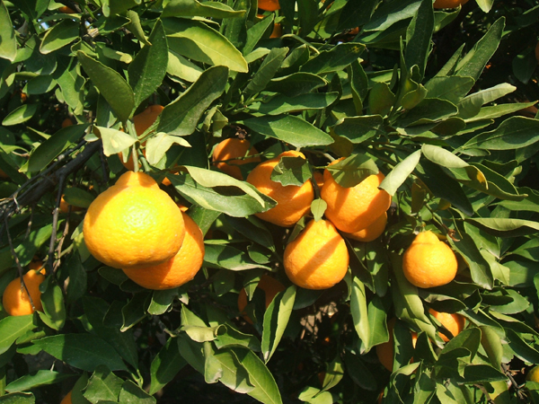 Fresh citrus from Gaarde FoodSource
